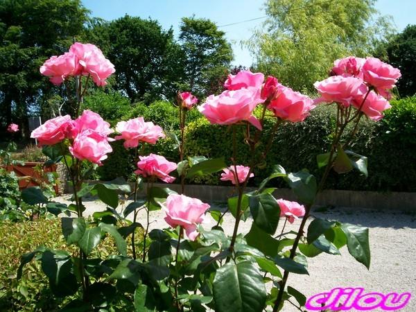 Les Fleurs De Ma Dilou D Amour