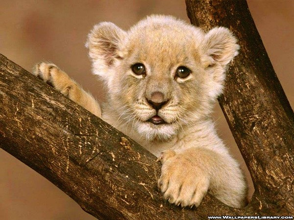 Wallpapers lions page 5 - Wallpaper animaux ...