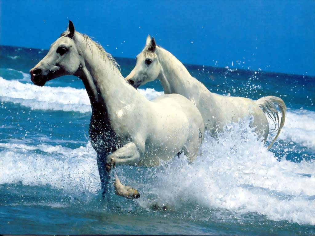 Chevaux blancs : wallpaper, fond d'cran, photo