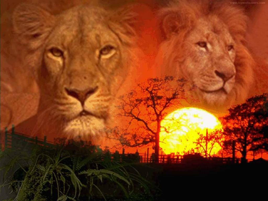Lions wallpaper fond d 39 cran photo image fond for Foto de fond ecran