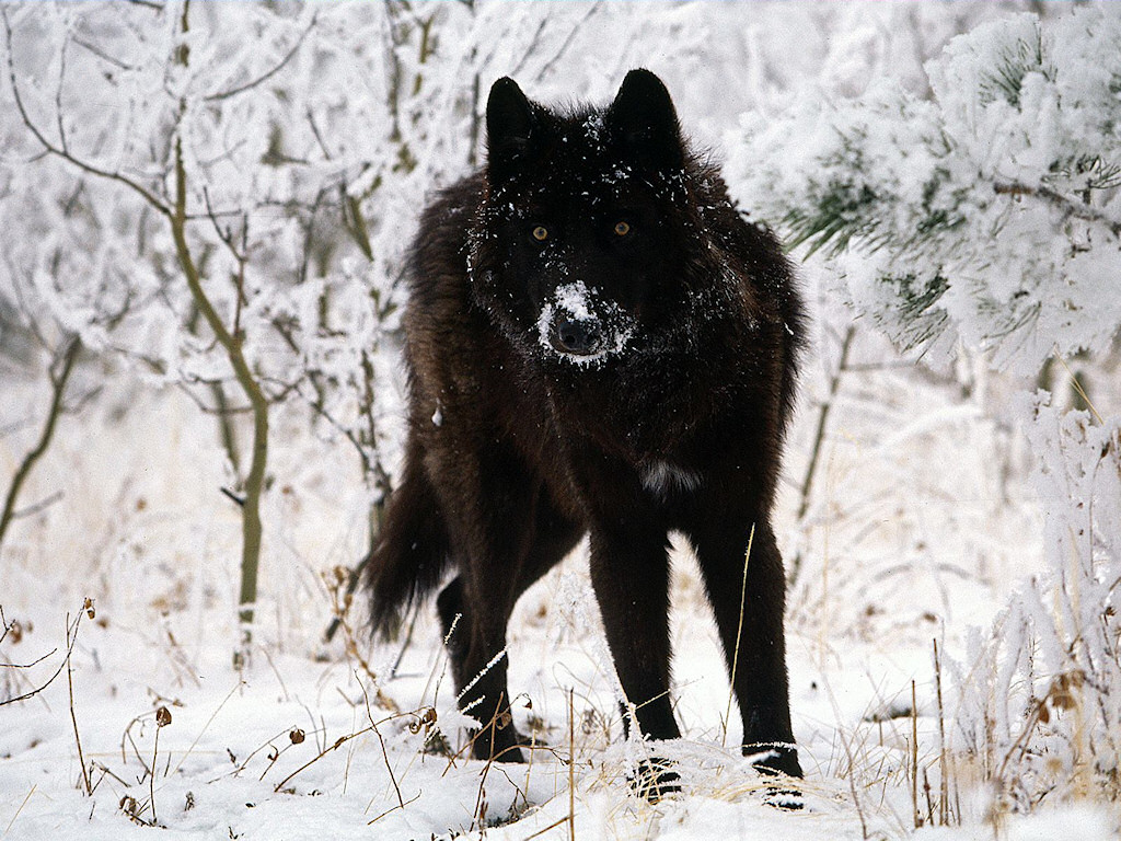 wallpaper loup fond - photo #16