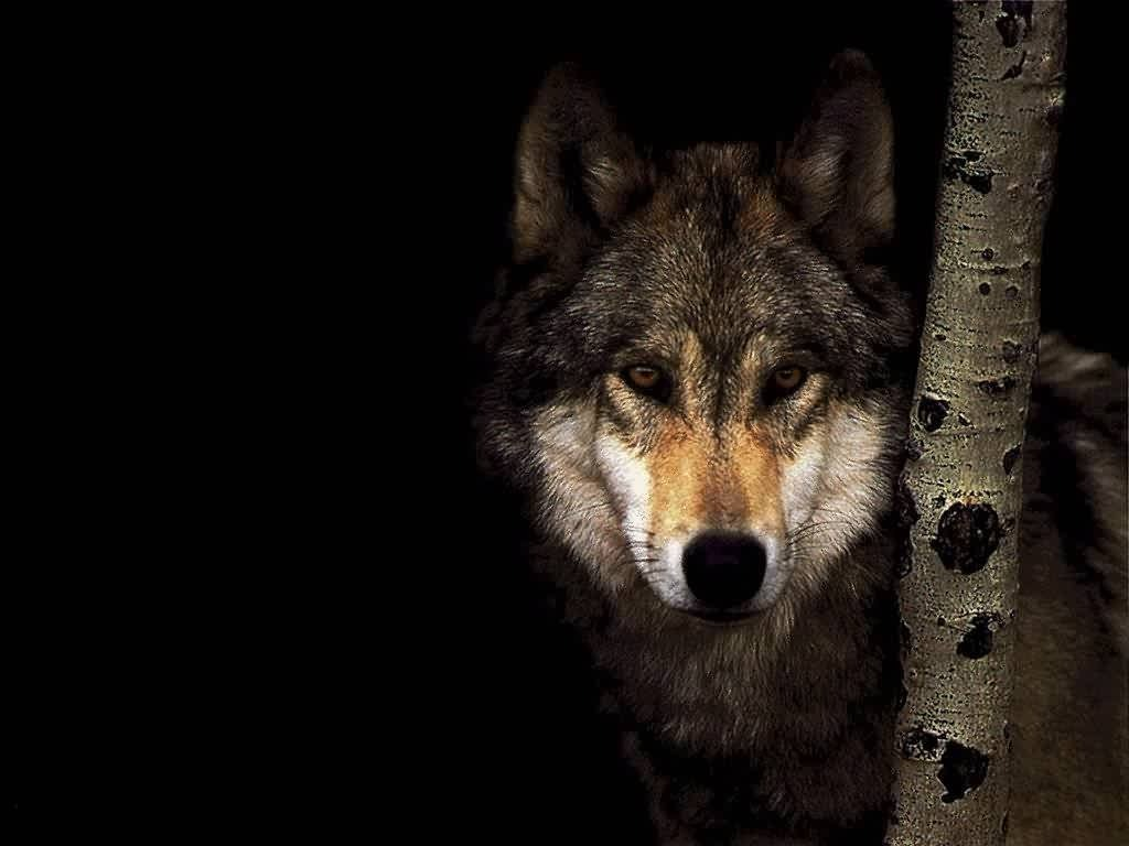 wallpaper loup fond - photo #15