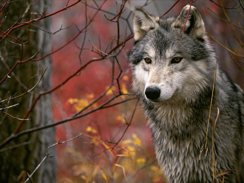 wallpaper loup fond - photo #24