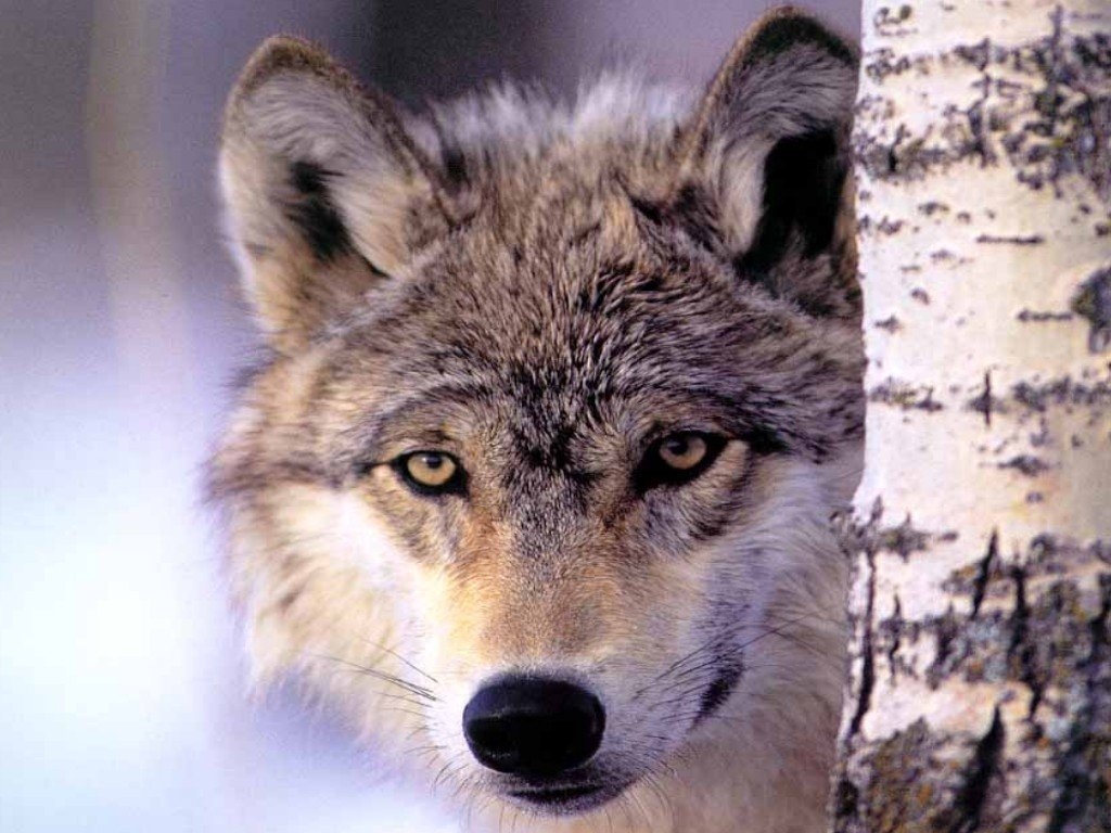 wallpaper loup fond - photo #1