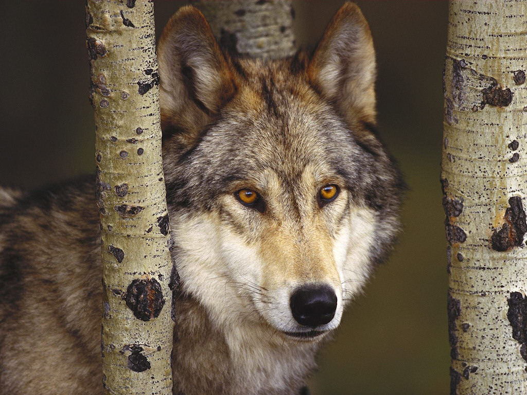 wallpaper loup fond - photo #4